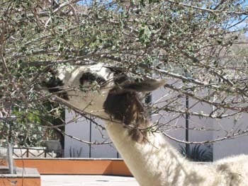 A llama eating from a tree. It appears to be in a courtyard with white stone flooring and a short orange fence. There is a white building in the background.
