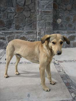 A light brown dog with dark brown ears is looking into the camera. There is a stonewall behind them and stone squares on the ground. Each stone square has an outline of smaller stones.