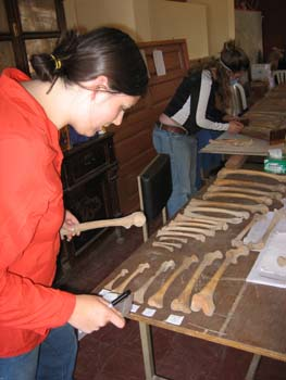 Ellen organizing femurs by age of the individual. They are on a wooden table. In background, Rachel is working on finding the length of femurs with a wooden tool. Ellen is wearing a red hoodie and jeans. Her dark hair is in a bun. RAchel is wearing a black jacket with white stripes down the side, jeans, and a blue facemask.