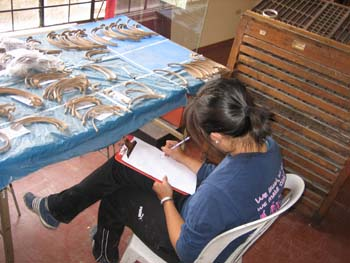 Katie sitting at a table covered in rib bones with her back to the camera. She is writing on the clipboard in her lap. There is blue padding under the ribs. There is a window on the other side of the table. Katie is wearing a blue tshirt and black pants. Her black hair is in a ponytail.