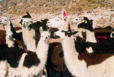 There is a group of llamas with varyig amounts of white, brown, and black fur. Some of them have pink tassels hanging from the ears. Some have pink fuzz in their fur. Two of them have green tassels on their ears. There is a rocky start of a hill in the background with shrubs.