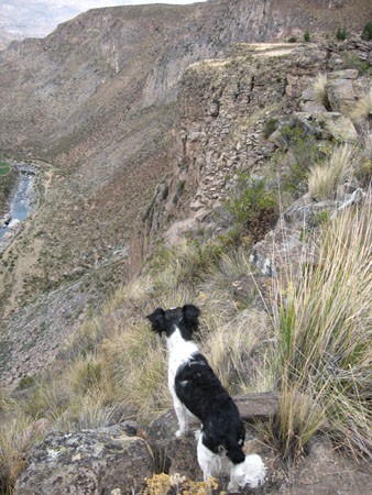 Bebe- a black and white dog- standing on a mountain side overlooking a river. Looking upwards and away from the camera.