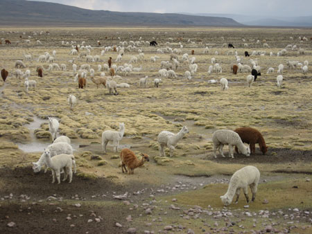 A grassy field with white, brown, and black alpacas. There are hills in the distance.