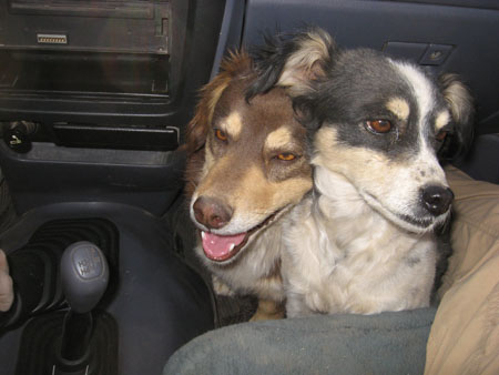 Chocolate- a dark and light brown dog- and Bebe- a black and white dog with light brown on its face- are sitting on the floor of the passenger front seat in a car. The person in the seat- with khaki pants- is taking the photo.