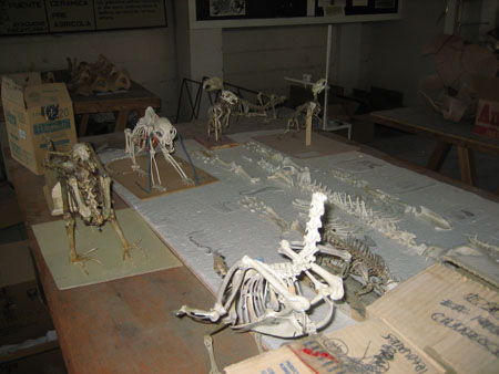 There is a large animal skeleton laying on white cloth on a wooden table. There is a smaller animal skeleton next to it. There is a bird skeleton that has been glued together in the foreground. There are four glued together on the back of the table.