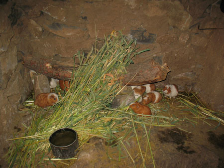 Six guniea pigs with varying amounts of white and orange fur. There is a tall pile of hay and a metal bowl with water. They are in a small space with orange rocks making the walls.