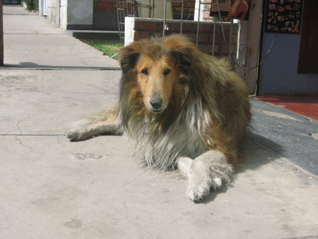 A dog is laying on side walk and looking into the camera. It is a collie with a light brown face, white chest, white front legs, white back paws, black ears, and dark brown body.
