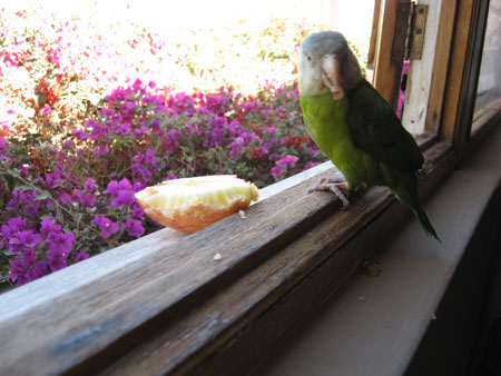 A bird with a light green belly, dark green wings, a gray head, and a pink beak sitting on a windowsill. The sill is wooden and the window is open. The bird has a small pink piece of fruit in its beak- the rest of the fruit is sitting on the outside part of the sill. The fruit is white on the inside, pink on the outside, and has seed indentions along the edge. There are pink flowers outside.
